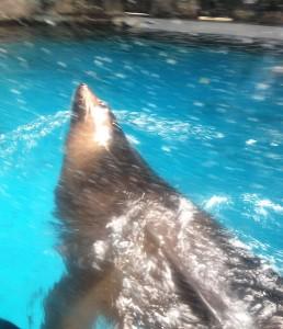 Leão-marinho é uma das novas atrações do Aquário de SP (Crédito: Fabiana Futema/Folhapress)