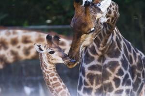 Girafa com girafinha no Zoológico de SP (Crédito: Petala Lopes – 29.jul.2013/ Folhapres)